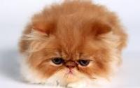 Персидские котята покорили YouTube (ВИДЕО)