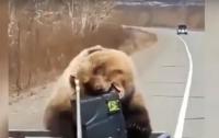 Медведь обокрал охотников (видео)