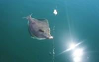 Запретили ловить камбалу в Черном море