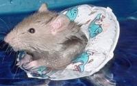 В Сети набирает популярности  видео с крысой, принимающей душ как человек