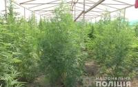 На Закарпатье обнаружили плантацию марихуаны (видео)