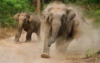 Стадо слонов топчет все и всех на своем пути