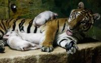 Хуже зверей: В зоопарке агрессивные посетители напали на льва, тигрицу и поросенка