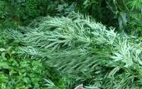 У жителя Кировоградской области нашли посадку двухметровой конопли