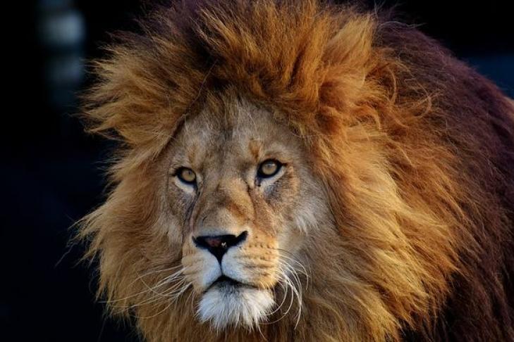 Ученые: вАфрике 200 тысяч лет назад жили львы ростом счеловека