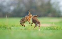 Серийный убийца кроликов держит в страхе деревню в Бретани