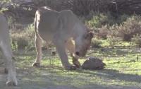 Безуспешная попытка львов напасть на черепаху попала на видео