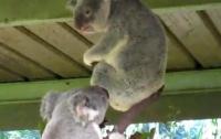 Озверевшие коалы шокировали посетителей зоопарка (ВИДЕО)