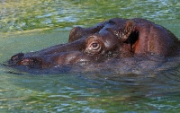 Бегемот убил двух человек на озере в Кении