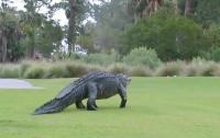 Прогулку гигантского аллигатора по полю для гольфа засняли на видео