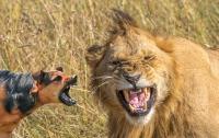 В Танзании маленькая собака напугала льва