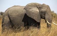 Африканский дикий слон напал на туристов