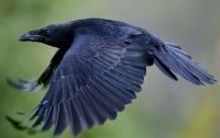 На Полтавщине ворона напала на ребенка