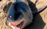 Рыбаки нашли мертвую акулу с шипом ската-хвостокола между глаз