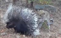 Леопард попытался вступить с дикобразом в бой и пожалел об этом (видео)