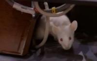 На голови сенаторів Колумбії кинули щурів з балкону (ВІДЕО)