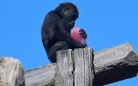 Животные Лондонского зоопарка спасаются от жары мороженым (видео)