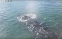 Запутавшийся в сетях кит подплыл к людям в надежде на спасение (видео)