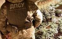 В Киевской области нашли плантацию марихуаны