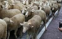 Около 14 тысяч овец утонули в Черном море