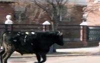 Полицейские ловили быка, сбежавшего со скотобойни (видео)