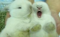 Смешные кролики-зеваки взбудоражили Интернет (ВИДЕО)