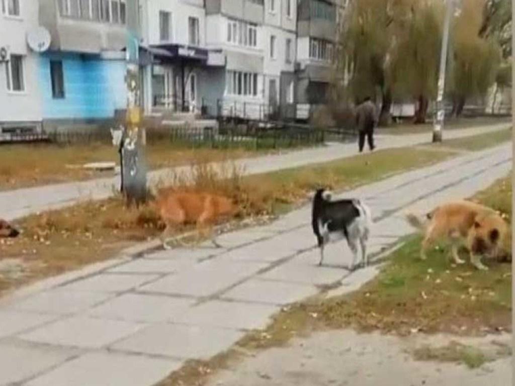 Необычная стая: на Днепропетровщине козленок стал лидером у бродячих собак