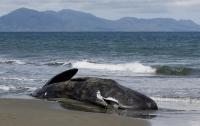 Восемь кашалотов выбросились на берег и погибли в Новой Зеландии