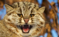 В Шотландии нашли гигантского лесного кота (видео)