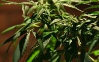 Одесский наркодилер выращивал коноплю в теплице