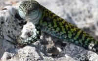 В Новой Гвинее обнаружены рептилии с токсичной кровью, которая обладает защитными свойствами