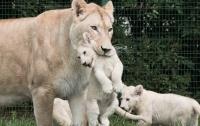 В зоопарке Тбилиси львица родила троих белоснежных львят