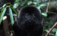 Сбежавшая из зоопарка Гетеборга обезьяна пошла есть фаст-фуд