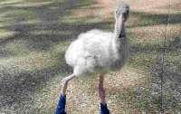Птенец фламинго в синих ботинках покорил Сеть (видео)