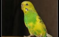 Попугай обратил грабителей в бегство