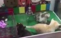 В Китае появились игровые автоматы с живыми котятами (видео)