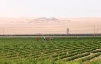 Китайцы умудрились собрать урожай в пустыне (видео)