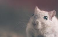 Крыса ограбила ювелирный магазин