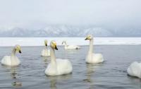 Стаю примерзших ко льду лебедей спасли в Киеве