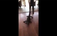 Официантка вытащила метрового варана из ресторана за хвост (видео)