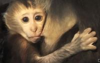Ученые вживили человеческий ген в мозг обезьян