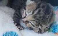 В ЮАР родился котенок с двумя мордочками