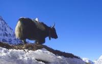 Сотни яков умерли от голода и холода в Гималаях