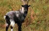 В США агрессивный козел разгромил офис (видео)