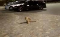 В Одессе по улице разгуливал львенок