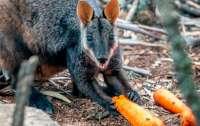 Тысячи килограммов моркови сбросили животным с вертолетов в Австралии