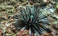 Ученые вырастили кости из иголок морских ежей