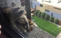 Енот забрался на 23 этаж небоскреба в Миннесоте