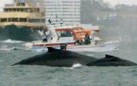 На японском судне пострадали 80 человек из-за кита