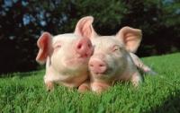 На Луганщине продолжается карантин из-за вспышки африканской чумы свиней